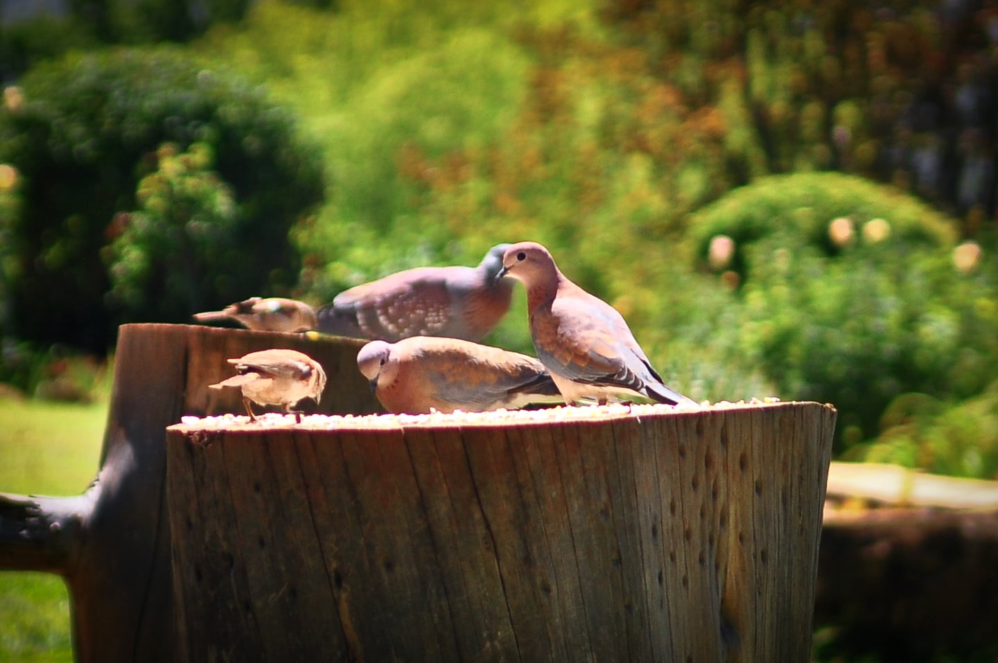 African mourning doves feeding on stump