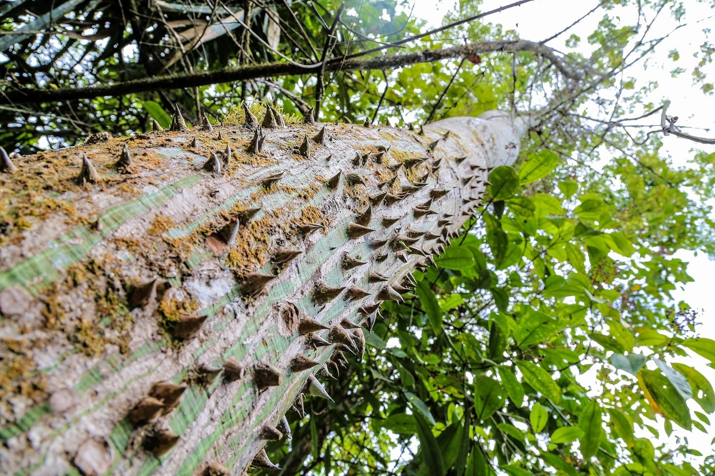 thorny tree in jungle
