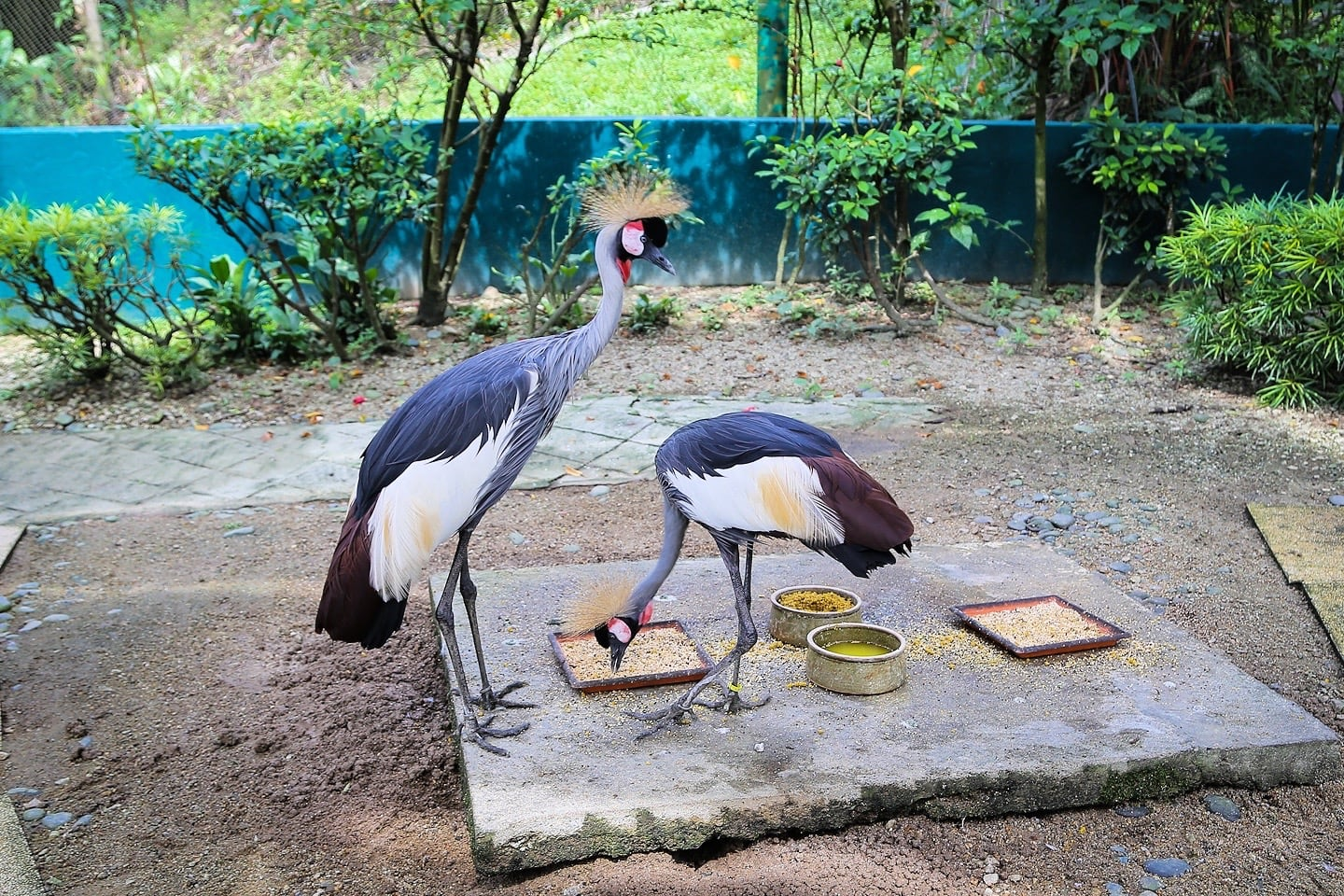 two grey crowned cranes crested cranes KL Bird Park