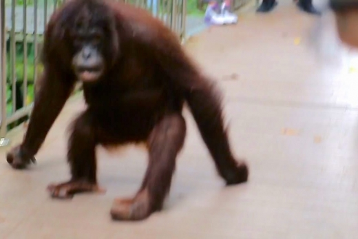 I Get Chased by an Orangutan (Seriously)