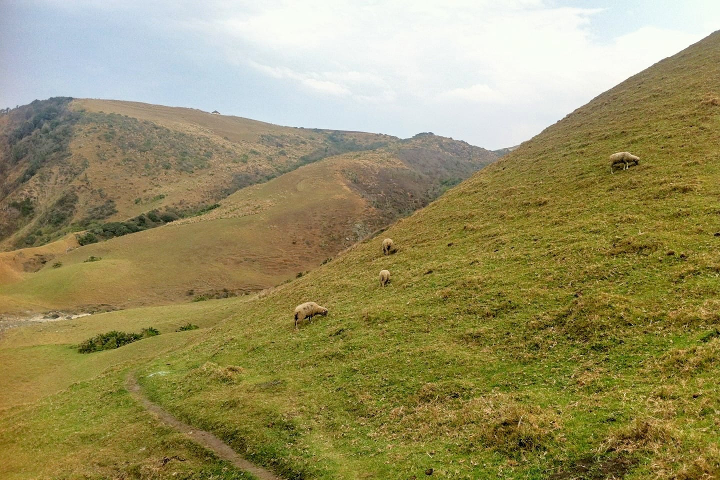 sheep in rural field